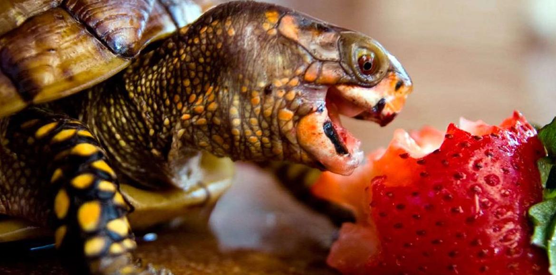 Consejos acerca de cómo cuidar una Tortuga doméstica