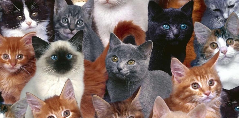 Conoce 13 razas de gatos que quizás, ni sabías que existían!