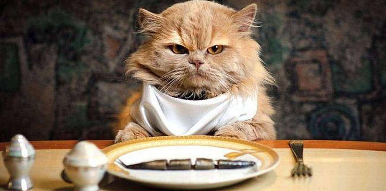 Se me terminó el balanceado!! ¿Qué alimento puedo darle a mi gato cuando se me terminó la comida?