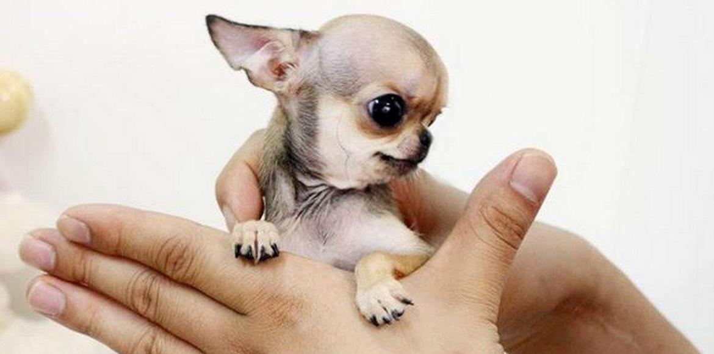 Perros Mini: Animalitos pequeños esconden un problema enorme