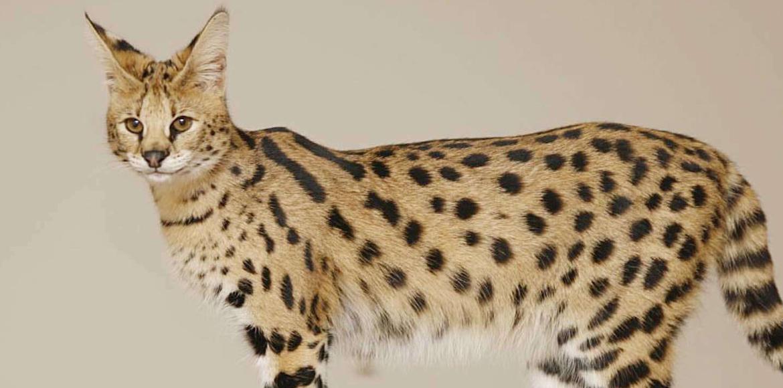 El Gato Savannah: Origen de su raza y Curiosidades