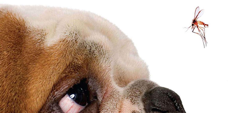 Leishmaniasis Canina: Causas, Síntomas y Tratamiento